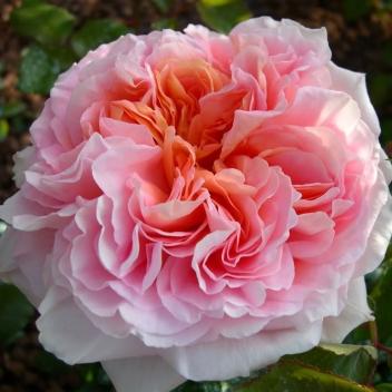 ABRAHAM DARBY® @ Rose Barni