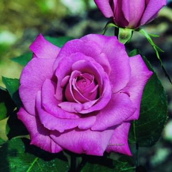 AMETISTA ® @ Rose Barni