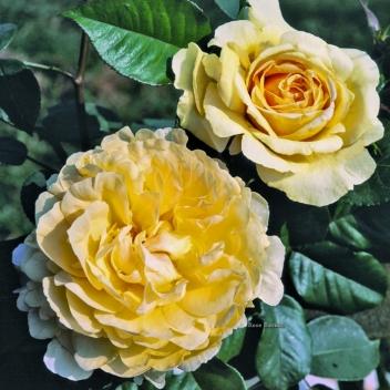 BELLA DI TODI ® @ Rose Barni