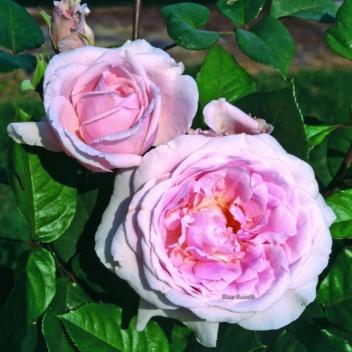 DOLCE LUNA ® @ Rose Barni