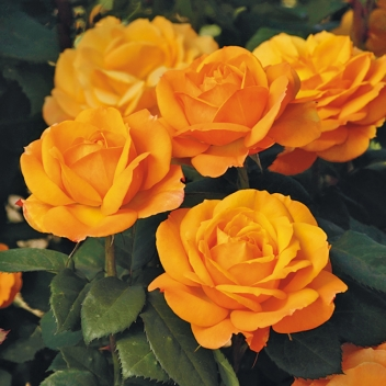 GOOD AS GOLD ® @ Rose Barni