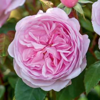 OLIVIA ROSE AUSTIN ® @ Rose Barni