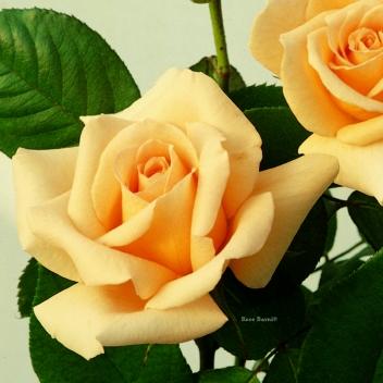 REVIVAL ® @ Rose Barni
