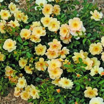 AMBER SUN® @ Rose Barni