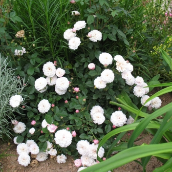 LITTLE WHITE PET @ Rose Barni