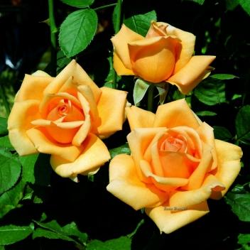 VALENCIA ® @ Rose Barni
