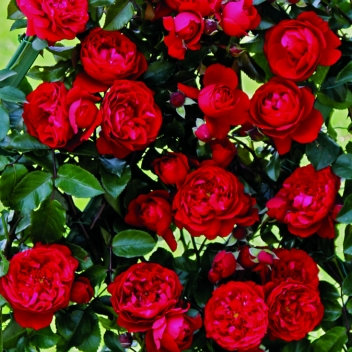 FLORENTINA ® @ Rose Barni