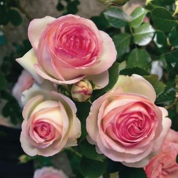 PIERRE DE RONSARD ® @ Rose Barni
