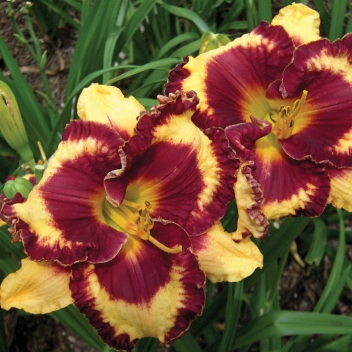 HEMEROCALLIS OPEN MY EYES @ Rose Barni