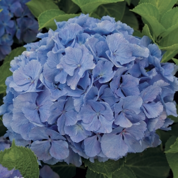 HYDRANGEA EARLY BLUE @ Rose Barni