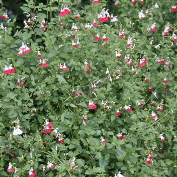 SALVIA MICROPHYLLA HOT LIPS @ Rose Barni