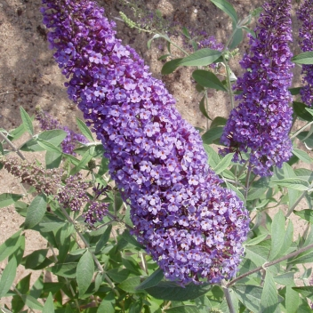 BUDDLEJA R.DE PAPILLON BLUE® @ Rose Barni