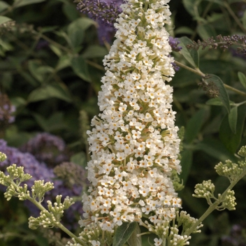 BUDDLEJA R.DE PAPILLON WHITE® @ Rose Barni