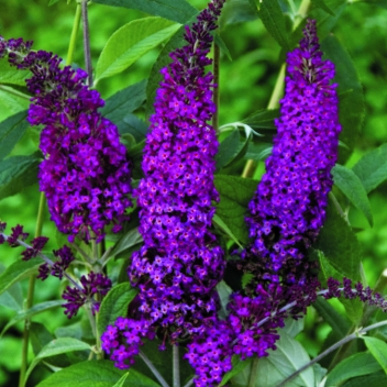 BUDDLEJA MISS RUBY® @ Rose Barni