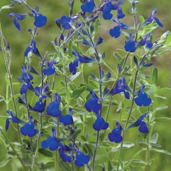 SALVIA GREGGI BLEU NOTE @ Rose Barni