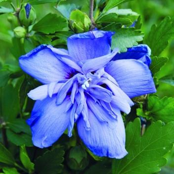 HIBISCUS SYR BLUE CHIFFON® @ Rose Barni