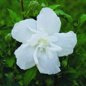 IBISCUS SYR WHITE CHIFFON® @ Rose Barni