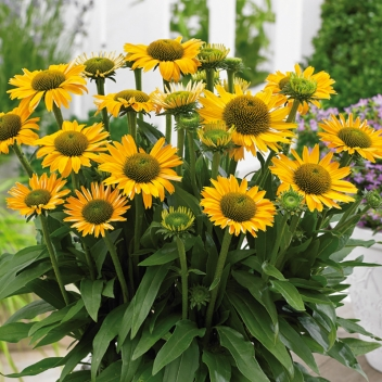 ECHINACEA SUNSEEKERS MELLOW ® @ Rose Barni