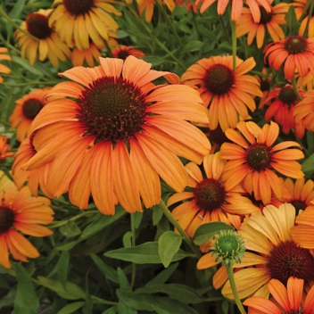 ECHINACEA TANGERINE DREAM® @ Rose Barni