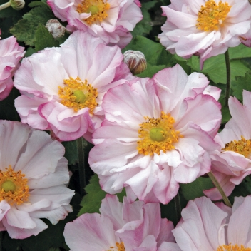 ANEMONE X HYBRIDA LORELEY @ Rose Barni