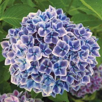 HYDR. MACR. TIVOLI® BLUE @ Rose Barni