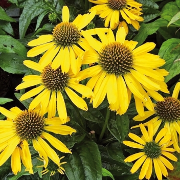 ECHINACEA SUNS. YELLOW ® @ Rose Barni