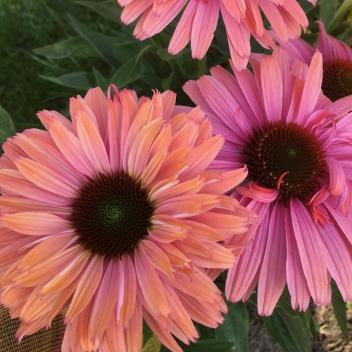 ECHINACEA SUNS. RAINBOW ® @ Rose Barni
