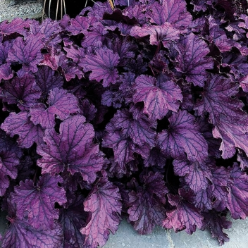 OFFERTA SPEC HEUCHERA @ Rose Barni