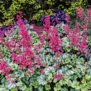 HEUCHERA PARIS ® @ Rose Barni