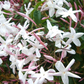 JASMINUM OFFICINALE @ Rose Barni