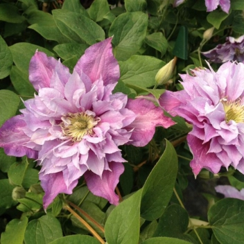 OFFERTA SPECIALE CLEMATIS @ Rose Barni