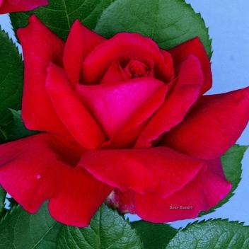 FRAGRANT LOVE® @ Rose Barni