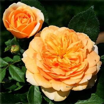 GOLDEN CELEBRATION® @ Rose Barni