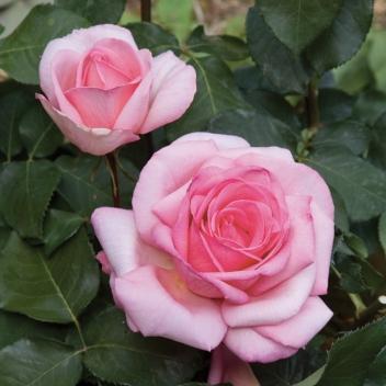 SWEET PAROLE® @ Rose Barni