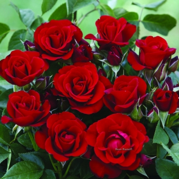 NOIR DESIR ® @ Rose Barni