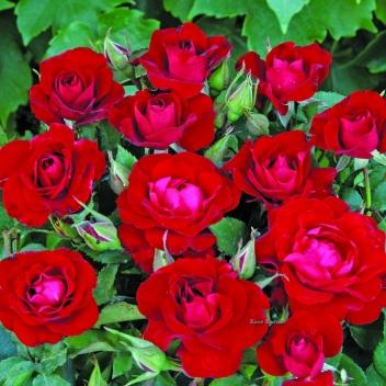 RED SPOT® @ Rose Barni