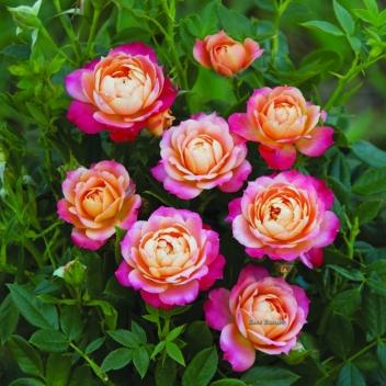 briosa® | cod.73008 | Rose Barni