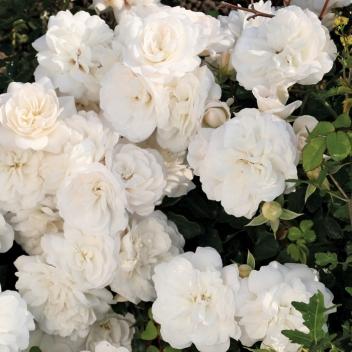 WHITE BABY-FLOR® @ Rose Barni