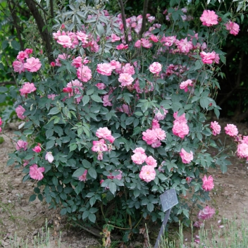 OLD BLUSH (Rosa bengalensis) @ Rose Barni