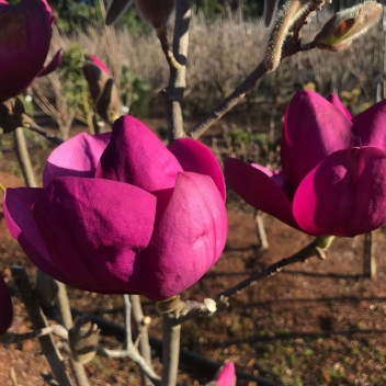 MAGNOLIA ROYAL PURPLE @ Rose Barni
