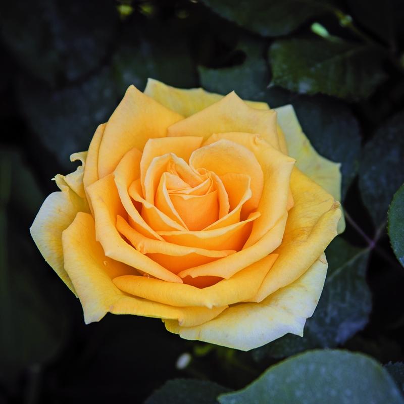 alba chiara® | cod.01009 | Rose Barni