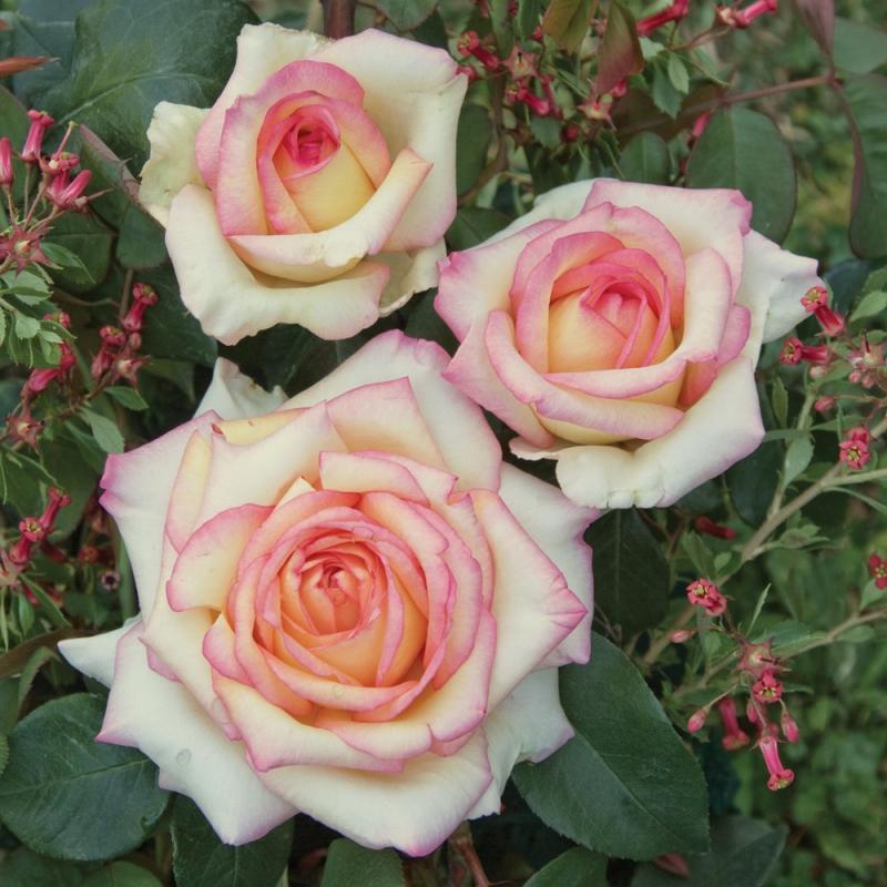 anna molinari® | cod.01014 | Rose Barni