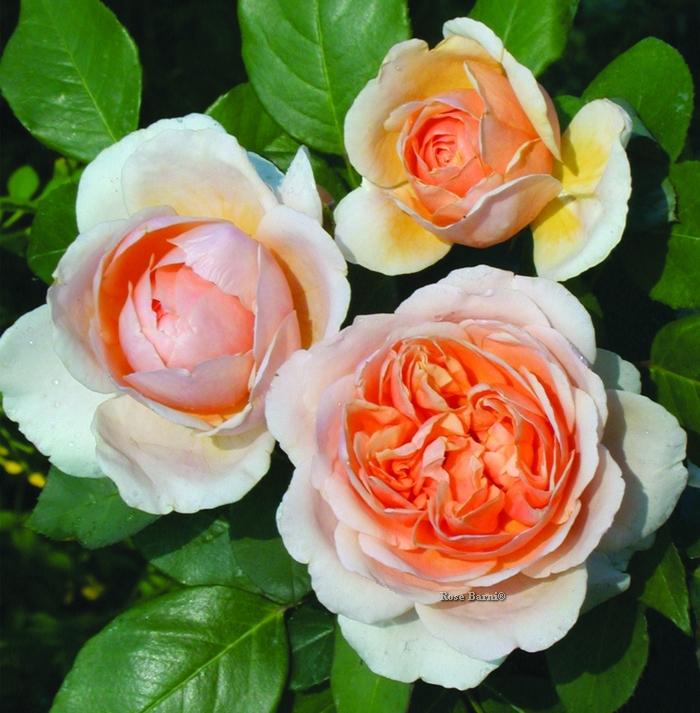 anna fendi ® | cod.01017 | Rose Barni
