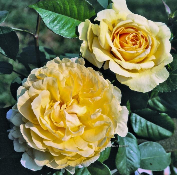 bella di todi ® | cod.01040 | Rose Barni