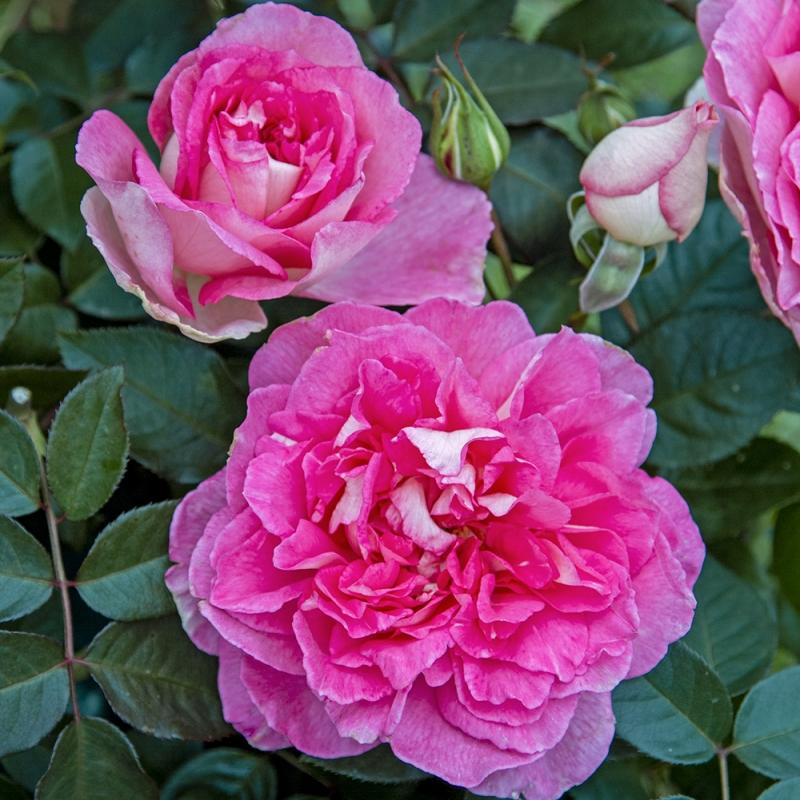 borneo odore® | cod.01047 | Rose Barni
