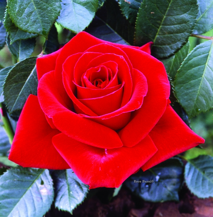 dama di cuori ® | cod.01080 | Rose Barni