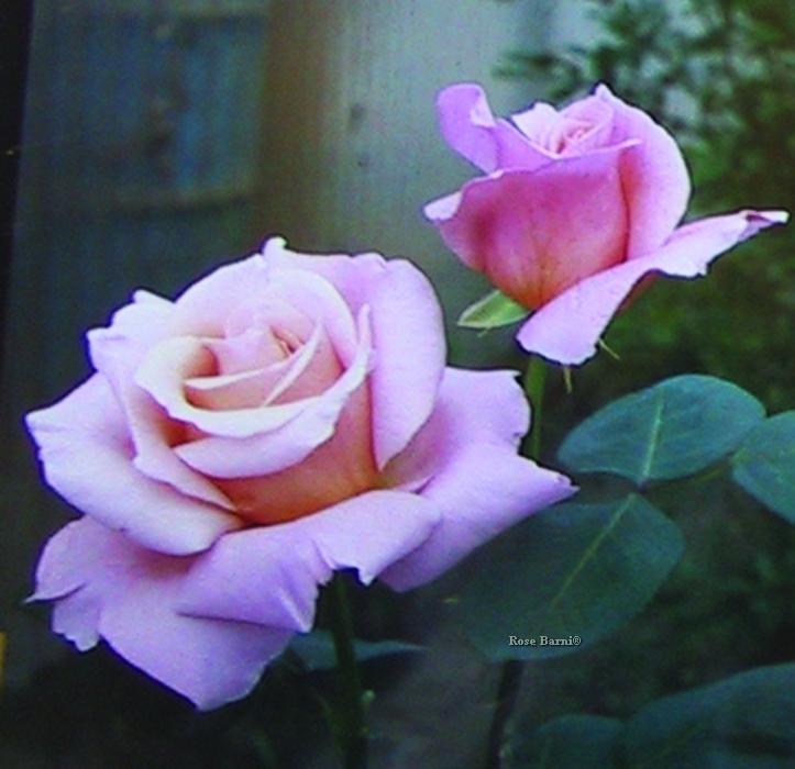 elisa ® | cod.01100 | Rose Barni