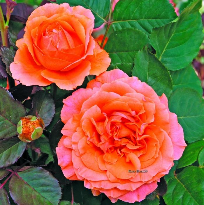 etrusca ® | cod.01109 | Rose Barni