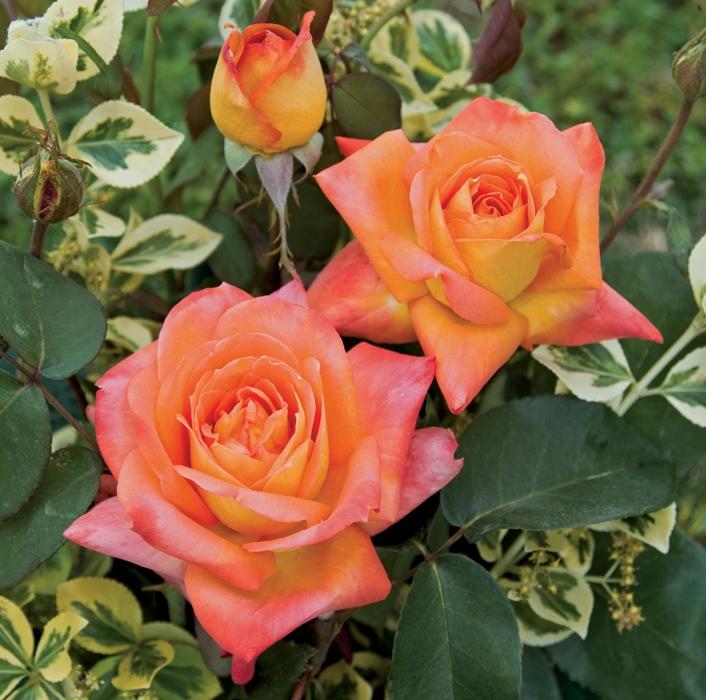 offerta fascino r.n. | cod.01110 | Rose Barni