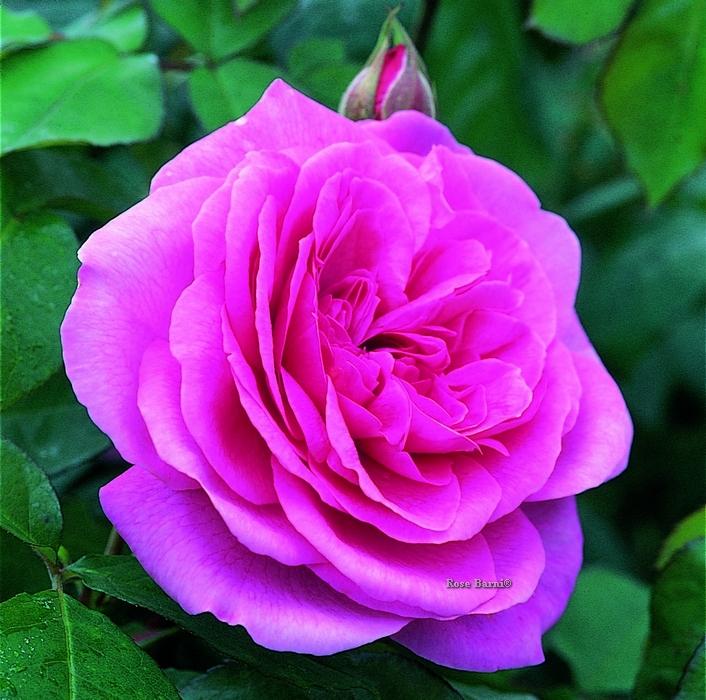 gertrude jekyll® | cod.01116 | Rose Barni